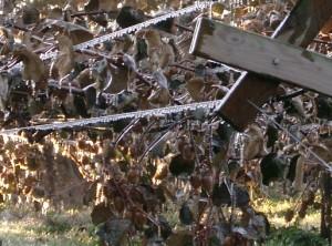 arrosage pour protéger les fruits du gel