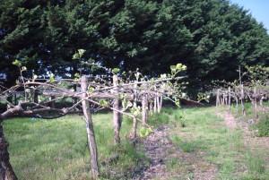 printemps-kiwi